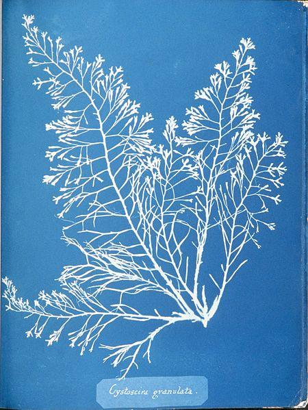 Anna Atkins Cystoseira granulata